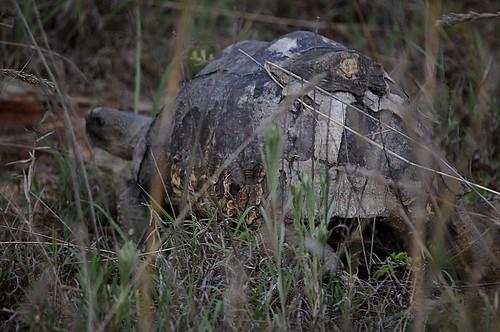 scabsy the tortoise