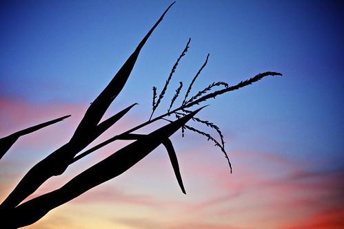 sunset corn dixon maze maize cornmaze milkfarm coolpatchpumpkins milkfarmroad