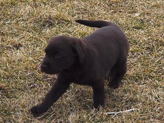 boykin spaniel(0.0), curly coated retriever(0.0), chesapeake bay retriever(0.0), dog breed(1.0), labrador retriever(1.0), animal(1.0), puppy(1.0), dog(1.0), carnivoran(1.0),