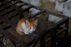 EL gatito entre los pollos