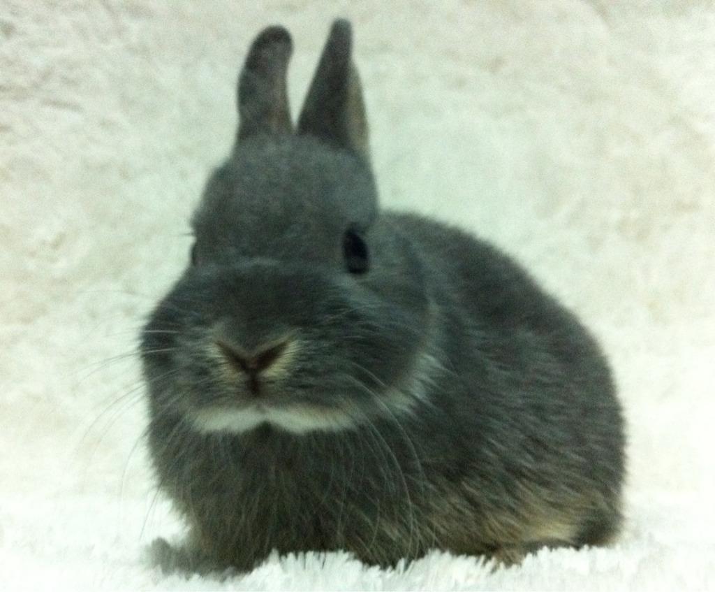 Blue Otter Netherland Dwarf Rabbit (page 2) - Pics about space