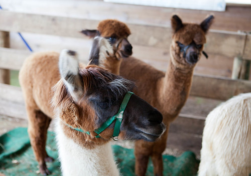 Alpaca Cuties