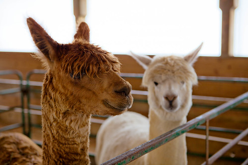 Very Friendly Alpacas