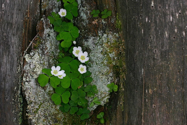 oxalis ocetosella   , oxalis des bois   /oxalidacées