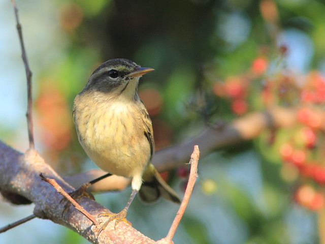 Palm Warbler 20111123