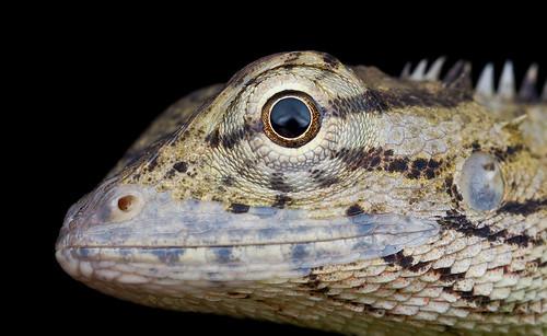 Changeable lizard / Oriental garden lizard , <i>Calotes versicolor</i>..IMG_9615 copy