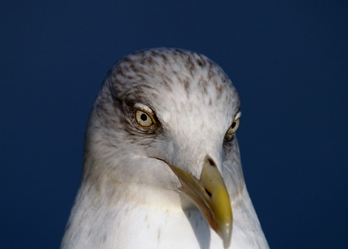 herring gull close up