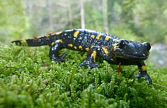 animal, amphibian, newt, salamander, fauna, european fire salamander, ambystoma maculatum, wildlife,