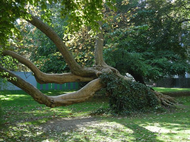 Un arbre tr s couch au nord ouest du jardin du luxembourg for Arbres jardin du luxembourg