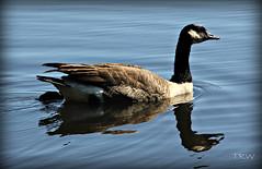 The Bog Garden Resident Goose