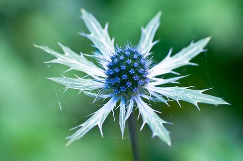 Blue Stamens & Spiky Leaves