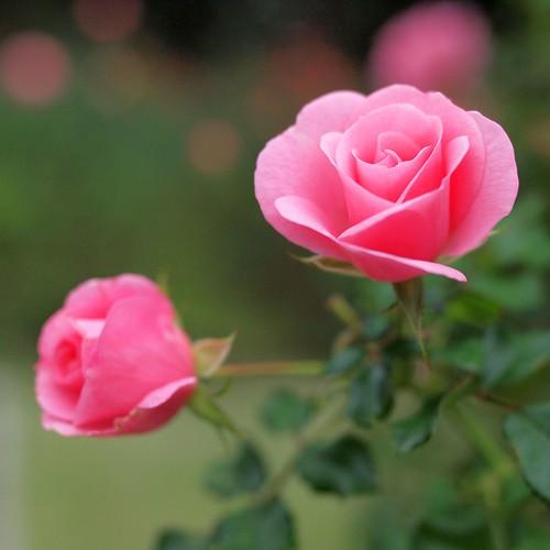 plant flower nature rose bokeh voigtlander rosa floweringplant olympuspenep2 voigtlandernokton25mmf095 nokton25mmf095 gettyimagesjapanq4