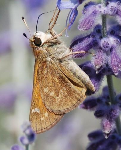 autumn nature butterfly insect skipper mariposa smokies schmetterling cherokeenc farfalle inthewild ringexcellence jennypansing