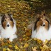 Our Rough Collie collies Zack and Buddy by sylvia1sam