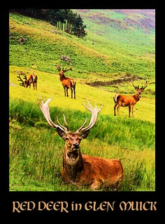 Red deer in Glen Muick
