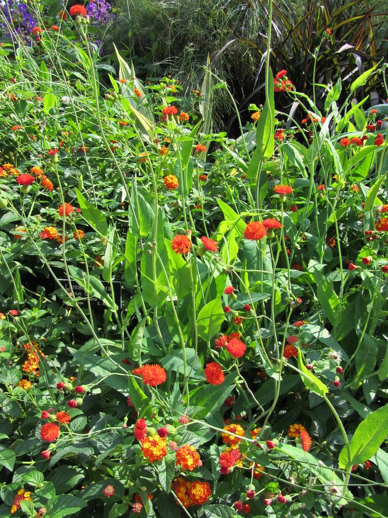 Tassel Flower (Jumbo)