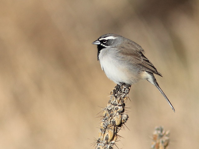Black-throated Sparrow 5-20111114
