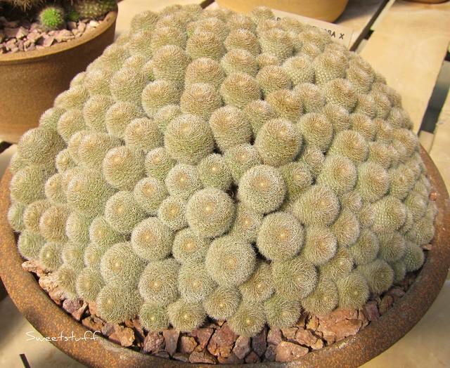 Rebutia Heliosa x R. Albiflora