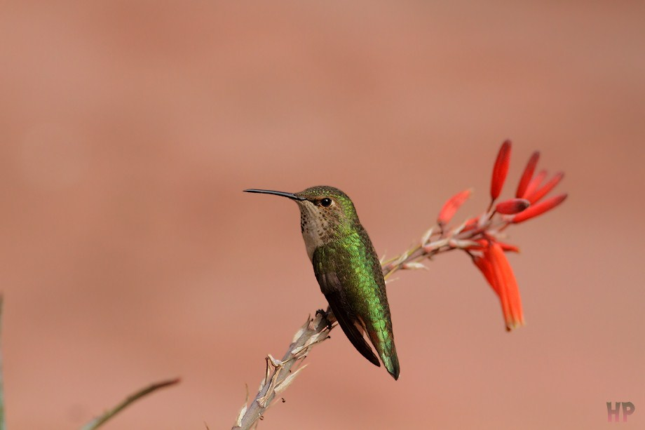 Allen's Hummingbird 031912