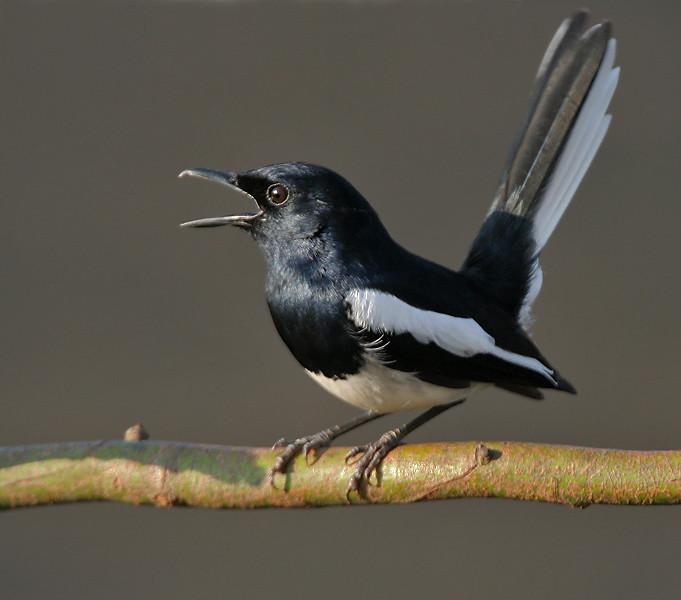 Mystery bird: oriental magpie-robin, Copsychus saularis