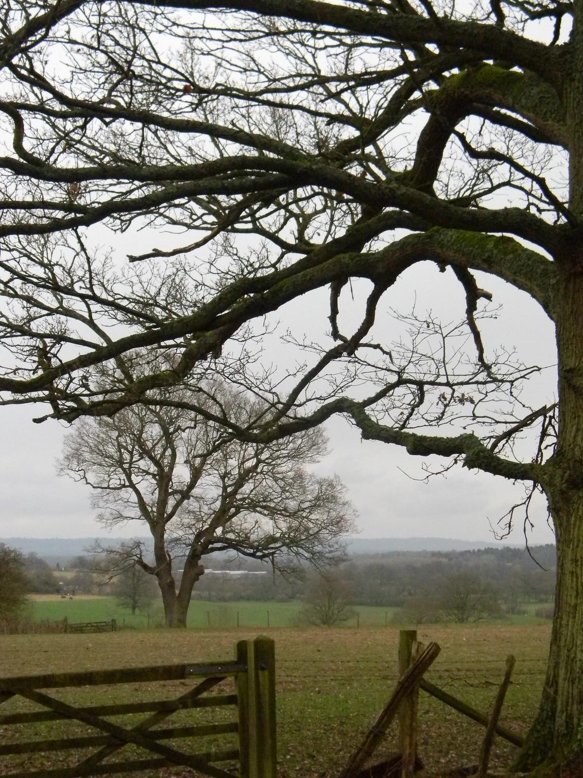 Near tree, far tree Cowden to Hever