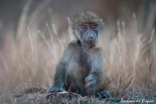Un simpatico babbuino visto di sera prima di rientrare in campeggio