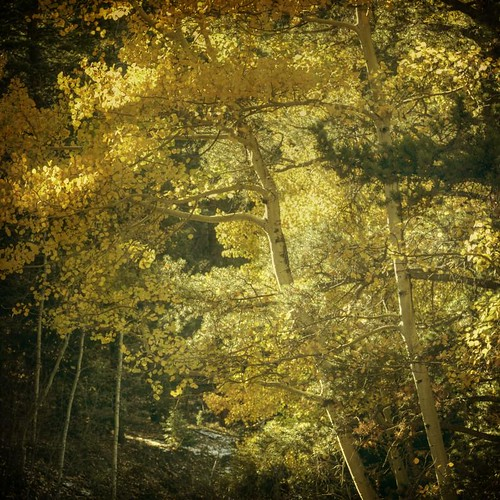 autumn trees light fall yellow forest square aspens filted texturesquared wasnotplanningtoreturn