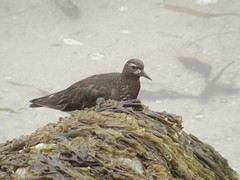 Black Turnstone, Spanish Bay, CA