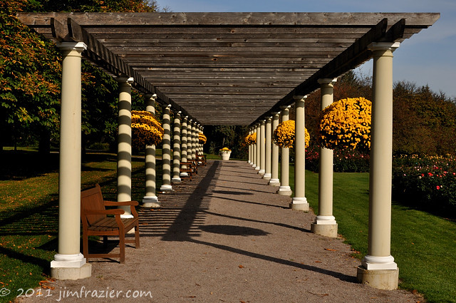 Yellow Mums in the Pergola