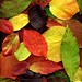 51702 fall leaves