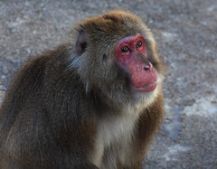 tufted capuchin(0.0), animal(1.0), baboon(1.0), monkey(1.0), mammal(1.0), fauna(1.0), japanese macaque(1.0), old world monkey(1.0), new world monkey(1.0), wildlife(1.0),