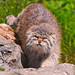 Female Pallas cat approaching