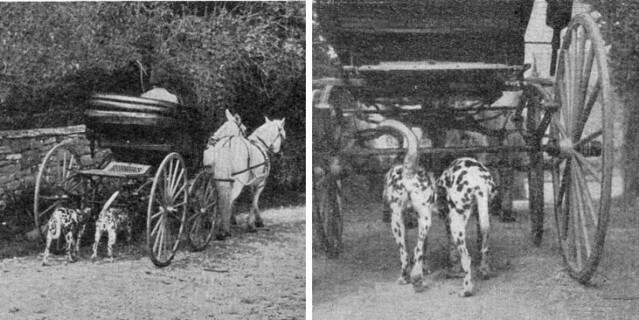 Dalmatians As Carriage Dogs | Flickr - Photo Sharing!