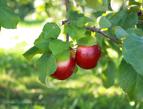 Apples_7733 copy