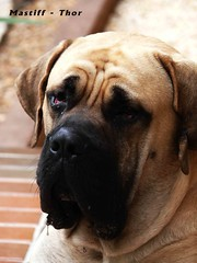 The mastif, MASTIFF INGLES DE NOME THOR COM 18 MESES BY AUGUST…