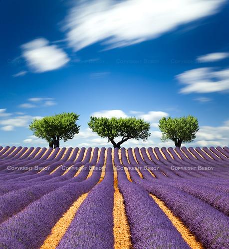 Lavender field, France - Explored :) -