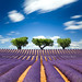 Lavender field, France - Explored :) -