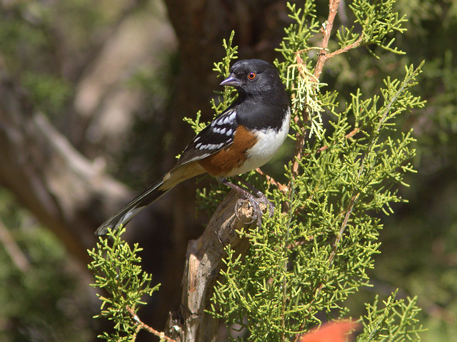 Spotted Towhee 2-20111112