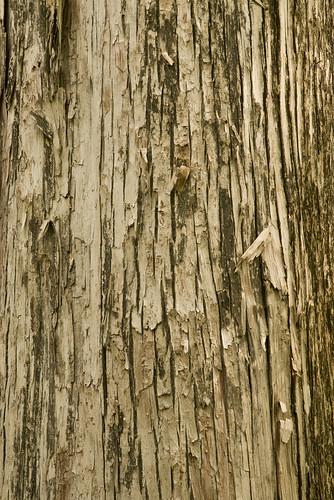 tree native treetrunk bark cupressaceae taxodiumascendens gymnosperms