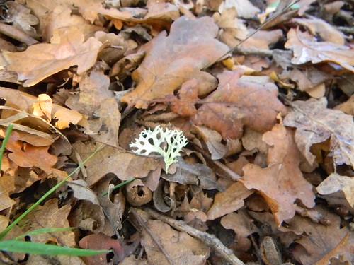 Lichen on leaves