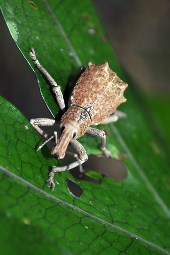 Beetle in the Daintree Rainforest