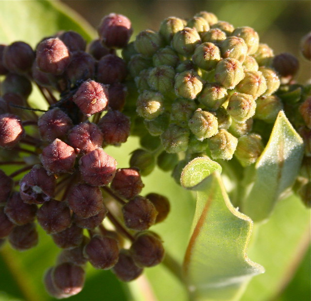 Milkweed: Michigan Field Flower Buds