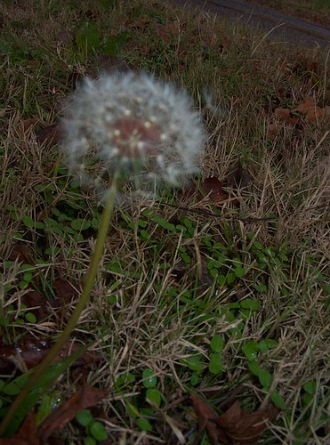Dandelion Seedhead, Late November
