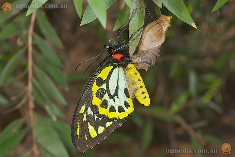 Cairns birdwing (Ornithoptera euphorion)
