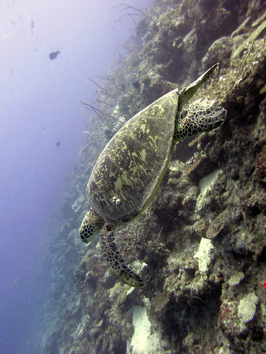 Sea turtle, Great Barrier Reef.