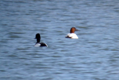 Scaup and Canvasback