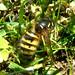 Dolichovespula norwegica (Norwegian Wasp)