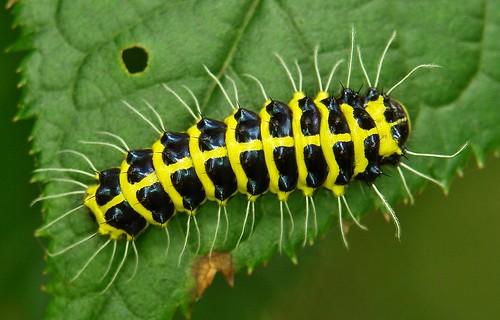 Achelura Caterpillar (Zygaenidae)