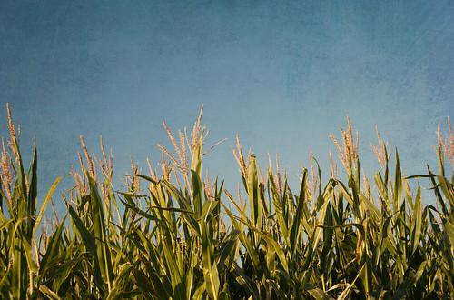 texture cornfield nhm ngm florabellatextures npgm indianajoehuberfarmes florabellatexturebrushedsky