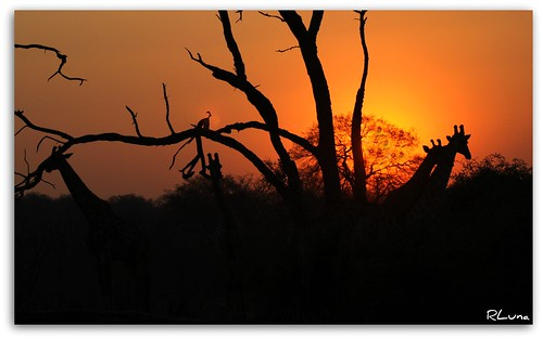 africa camera trip travel viaje sunset naturaleza sol me nature animal silhouette sunrise canon landscape photography gold flickr shadows natural paisaje spotlight safari amanecer zimbabwe namibia chobe vacaciones ocaso cultura zambia reserva gamedrive medioambiente ecologia parquenacional sudafrica jirafa southafricanairways bostwana comair crespusculo airlink civair transkalahari rluna1982 rluna allegianceair instagram instagramapp cemair
